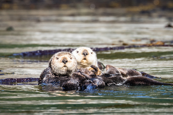 alaska-united-states_sea-otter_wildlife-photography_andrew-peacock