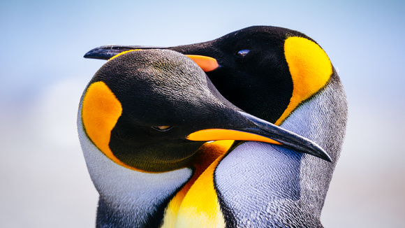 south-georgia-island-antarctica_king-penguins_wildlife-photography_andrew-peacock