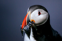 iceland-arctic_puffin_wildlife-photography_andrew-peacock